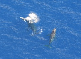 Humpback whales. One male, an escort male and a baby.
